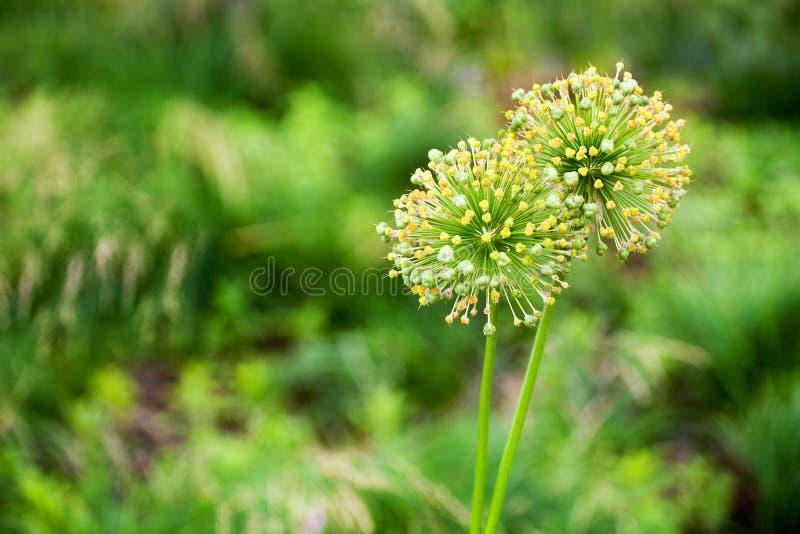 2 цветка больших лука цветения круга декоративных желтых на зеленой запачканной предпосылке bokeh близко вверх, cristophii лукаба стоковое фото