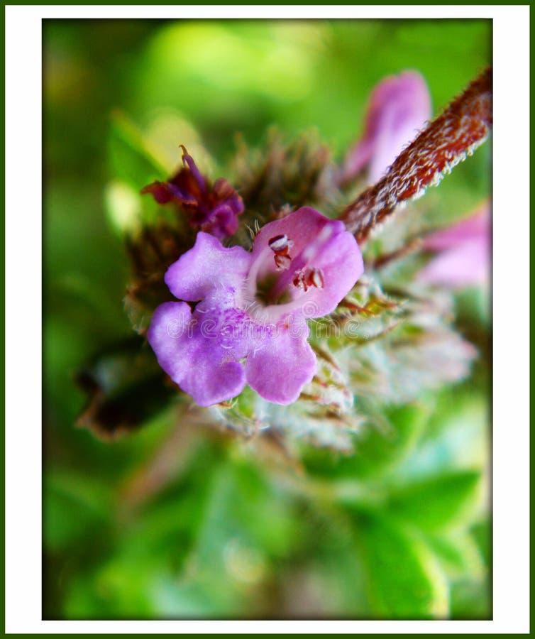 Цветка горы тимуса предпосылка и обои дикого цвести в высококачественном стоковая фотография rf