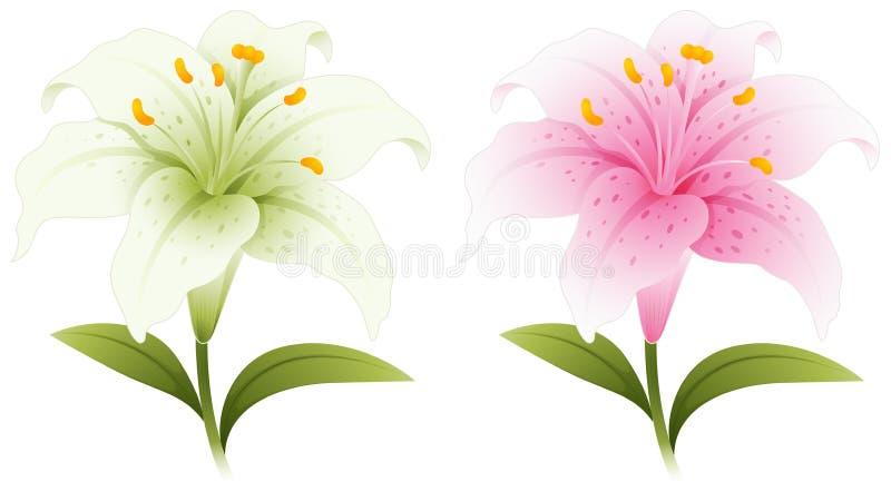 2 цветка лилии в белизне и пинке бесплатная иллюстрация