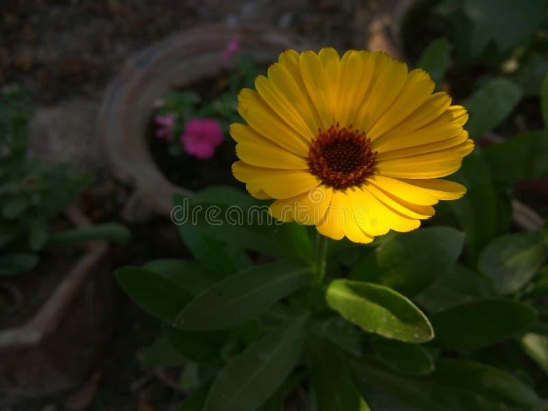цветка дня calendula поднимающее вверх близкого солнечное стоковое изображение rf