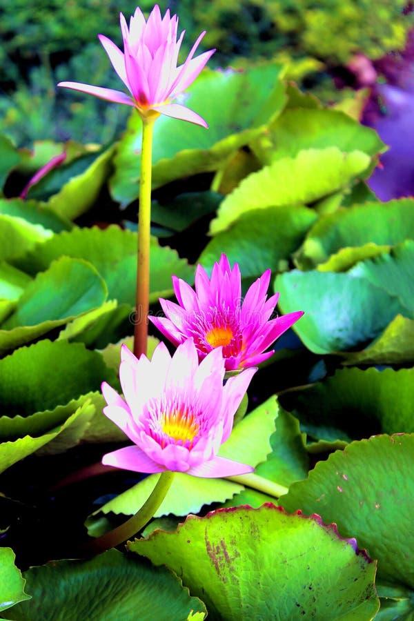 3 цветка лотоса в Таиланде стоковые фотографии rf
