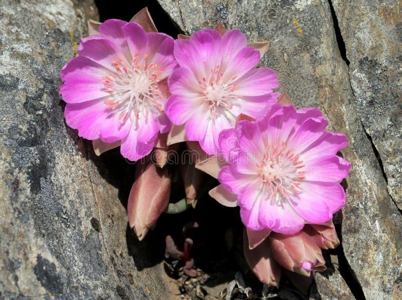 3 цветка Bitterroot в Crevice стоковая фотография rf