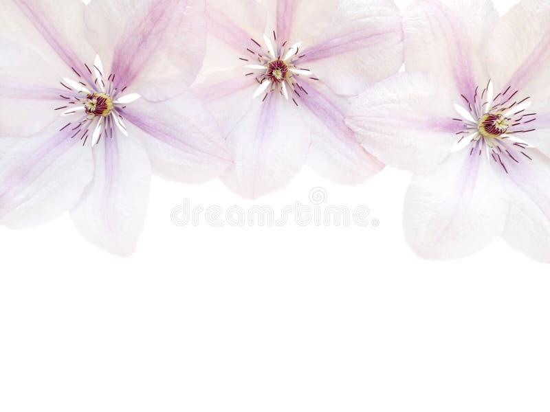 3 цветка clematis на белой предпосылке стоковое фото rf