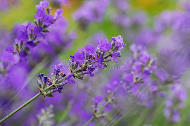 Цветки лаванды стоковые фотографии rf