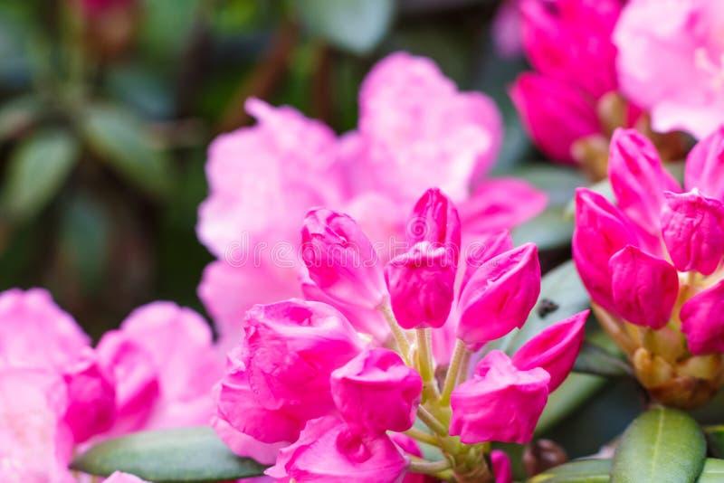 Цветки азалии рододендрона различных цветов весной садовничают стоковые фото