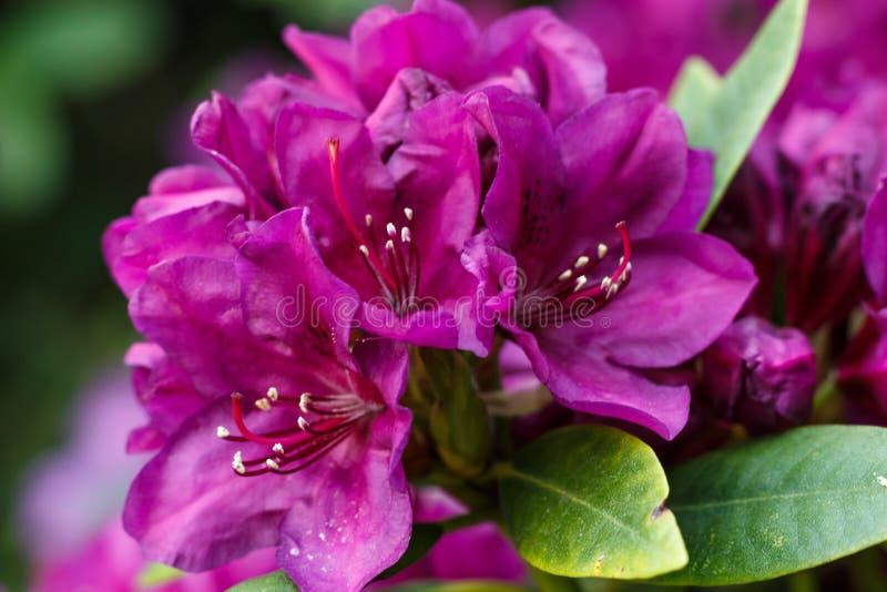 Цветки азалии рододендрона различных цветов весной садовничают стоковые фотографии rf