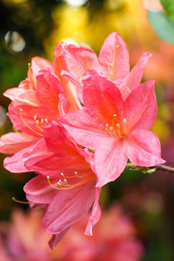 Цветки азалии рододендрона различных цветов весной садовничают стоковая фотография rf