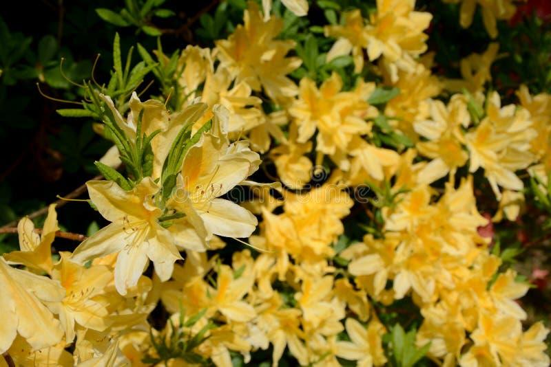 Цветки азалии желтые стоковое изображение rf