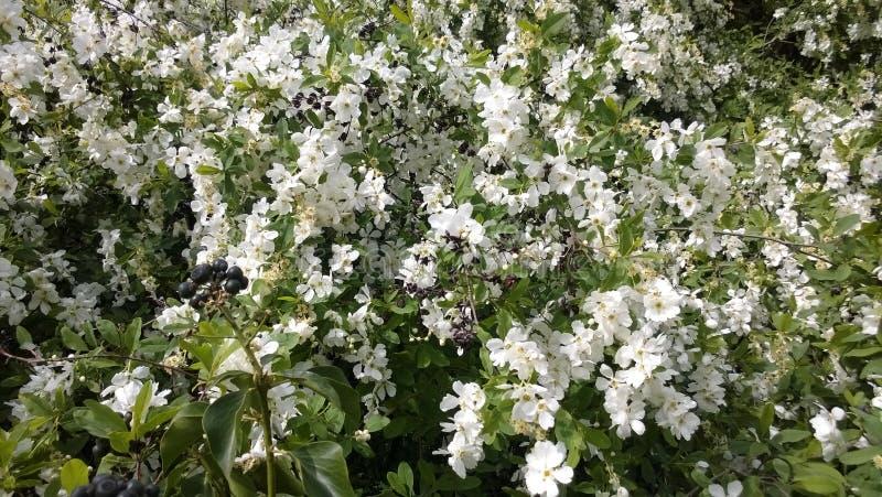 Цветки айвы от Японии стоковые фотографии rf