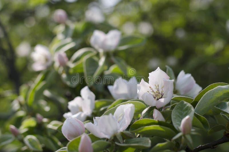 Цветки айвы Яблока стоковая фотография