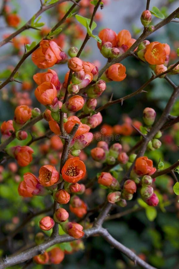 Цветки айвы Яблока стоковое фото rf