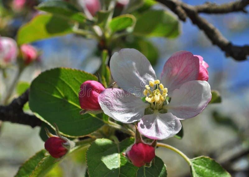 Цветки айвы стоковые фотографии rf