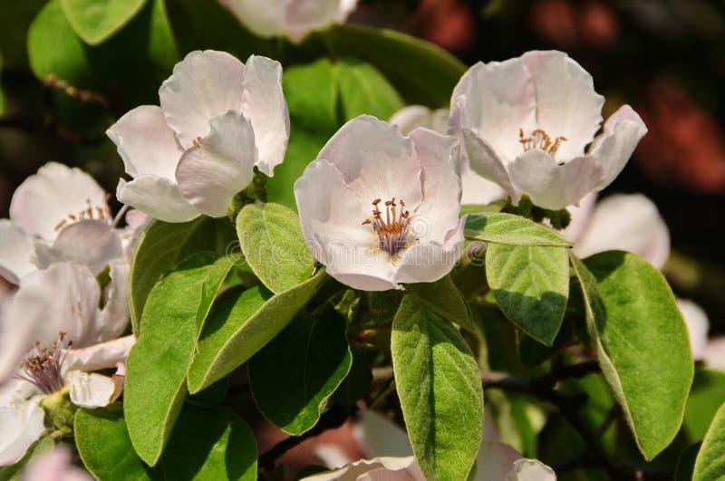 Цветки айвы стоковые фото