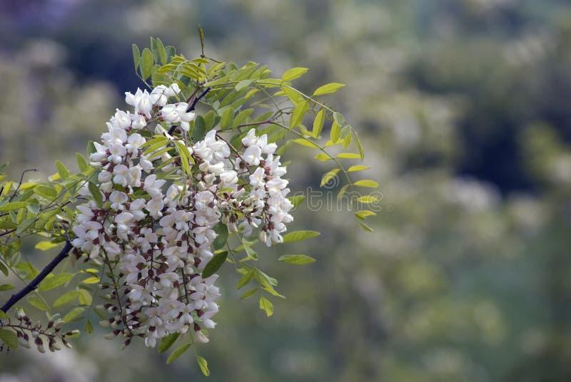 цветки акации стоковое изображение rf