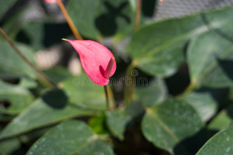 Цветки антуриума стоковое фото rf