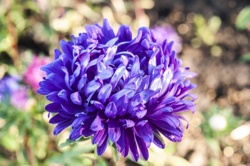 Цветки астры стоковая фотография rf