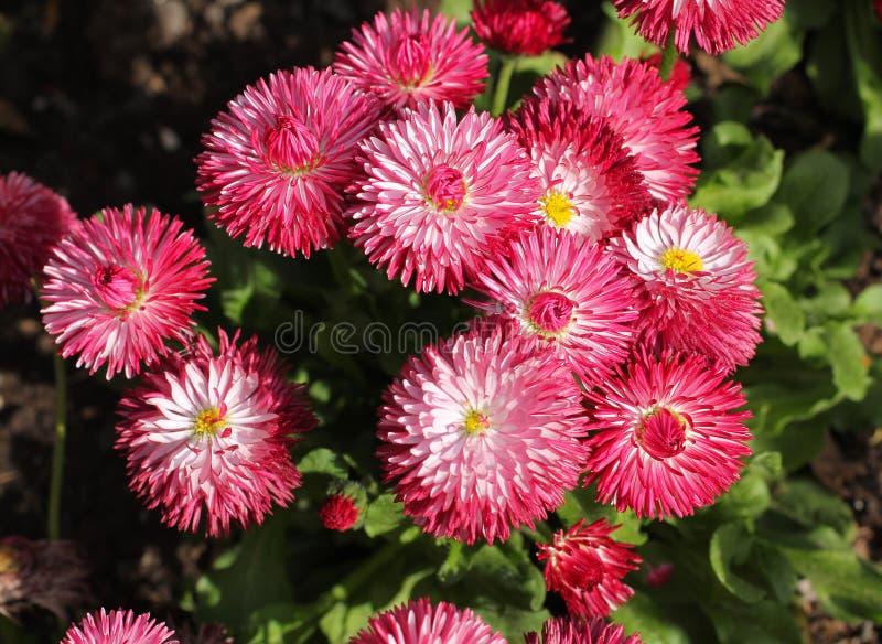 Цветки астры стоковое фото