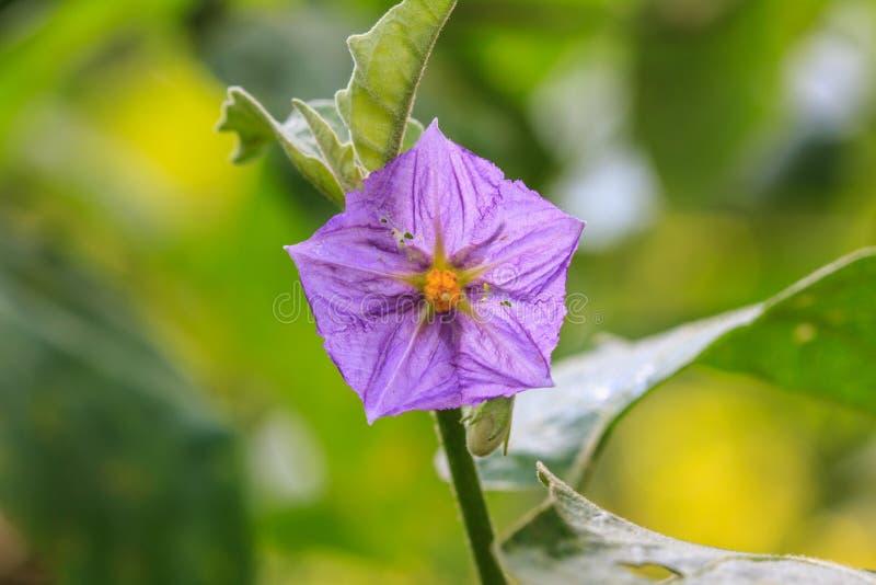 Цветки баклажана зацветая в природе стоковое изображение