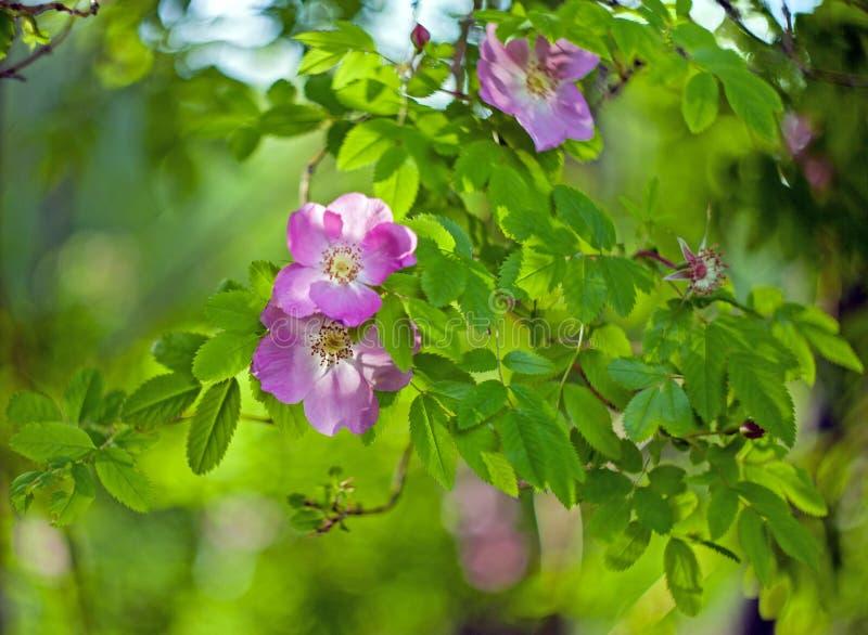 Цветки бедер одичалые розовые с листьями на запачканной предпосылке стоковая фотография rf