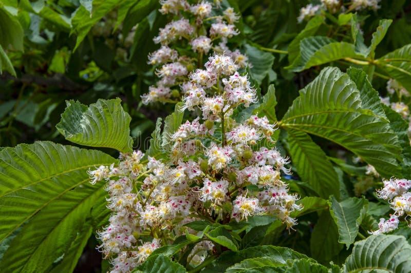 Цветки белого каштана весной стоковая фотография