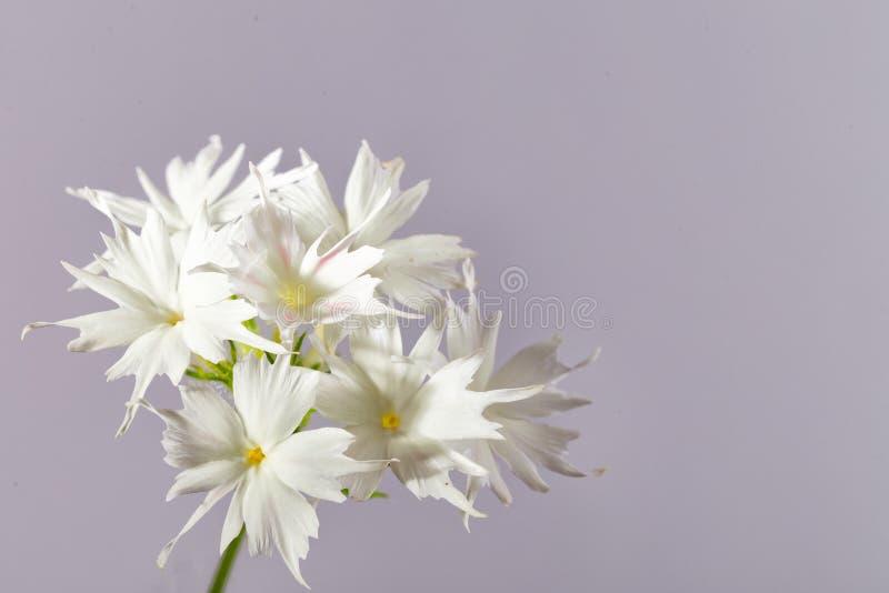 Цветки белого флокса на серой предпосылке стоковое изображение rf