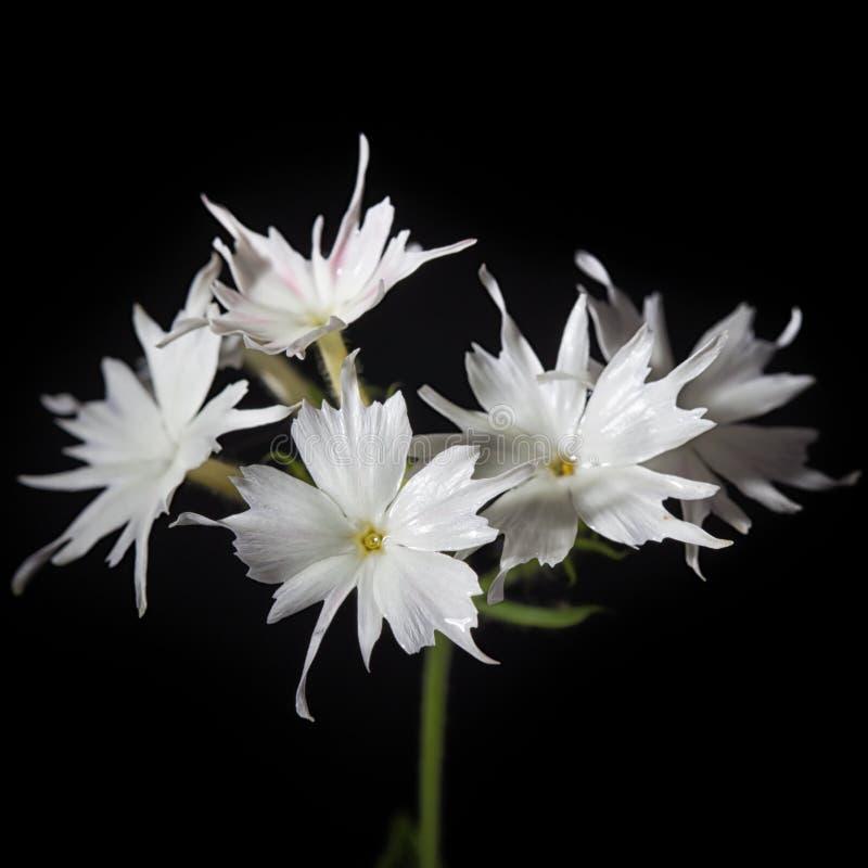 Цветки белого флокса на черной предпосылке стоковое изображение rf