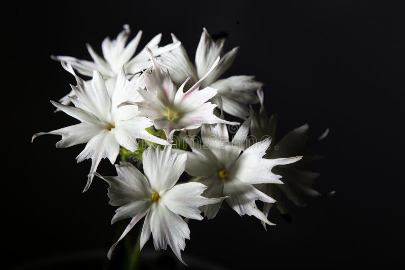 Цветки белого флокса на черной предпосылке стоковые фото