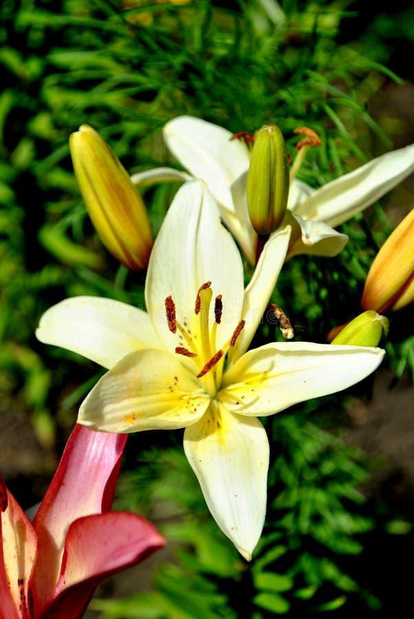 Цветки белой лилии закрывают вверх на запачканной зеленой предпосылке стоковые изображения rf
