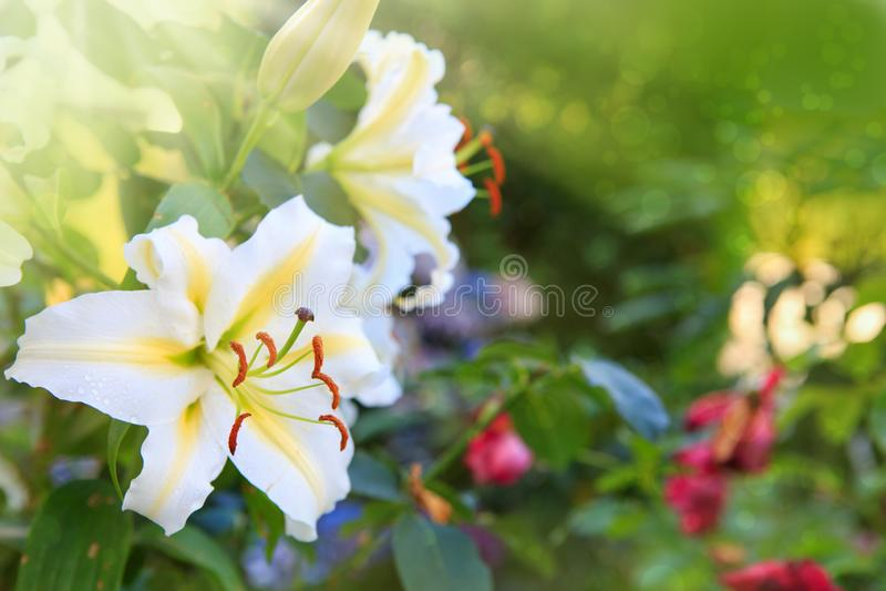 Цветки белой лилии изолированные на зеленой предпосылке лета стоковая фотография rf