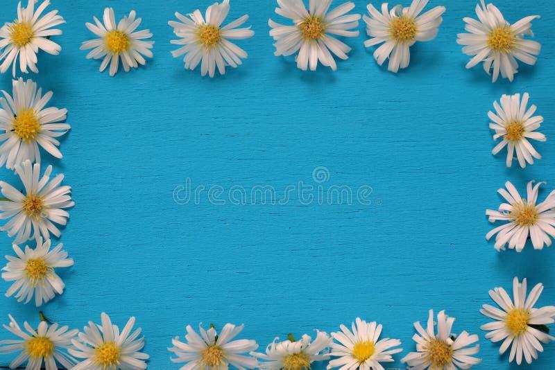 Цветки белой маргаритки кладут на голубую деревянную предпосылку стоковое изображение rf