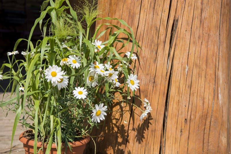 Цветки белой маргаритки на деревянной предпосылке стоковые фото