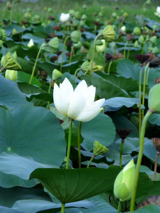 Цветки белого лотоса, бутоны и seedpods стоковые изображения rf