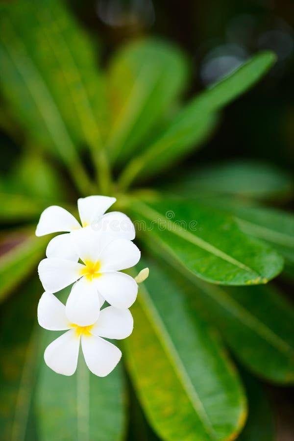 Download Цветки белого Frangipani тропические Стоковое Фото - изображение насчитывающей тропическо, цветок: 40576586