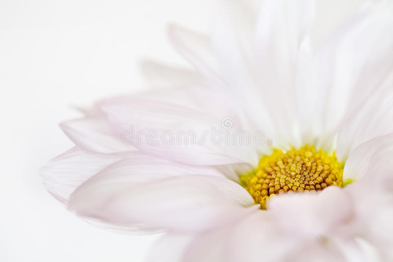 Цветки белых желтых маргариток цветка маргаритки флористические стоковая фотография