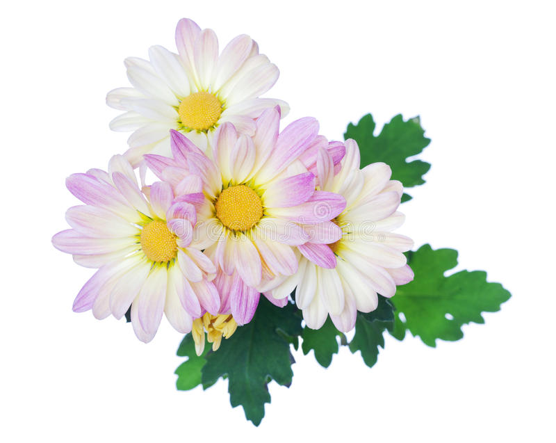 Цветки белых розовых маргариток цветка маргаритки флористические стоковые фотографии rf