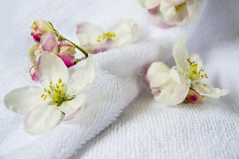 Цветки, бутоны яблони на фоне белого полотенца Terry Чувствительные цветки на светлой предпосылке стоковое фото