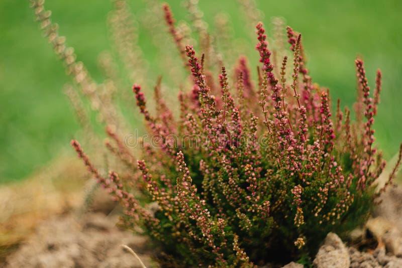 Цветки вереска малое цветков розовое стоковое изображение rf