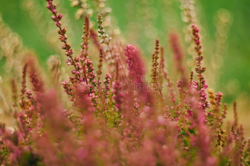 Цветки вереска на предпосылке зеленого цвета природы стоковые изображения rf
