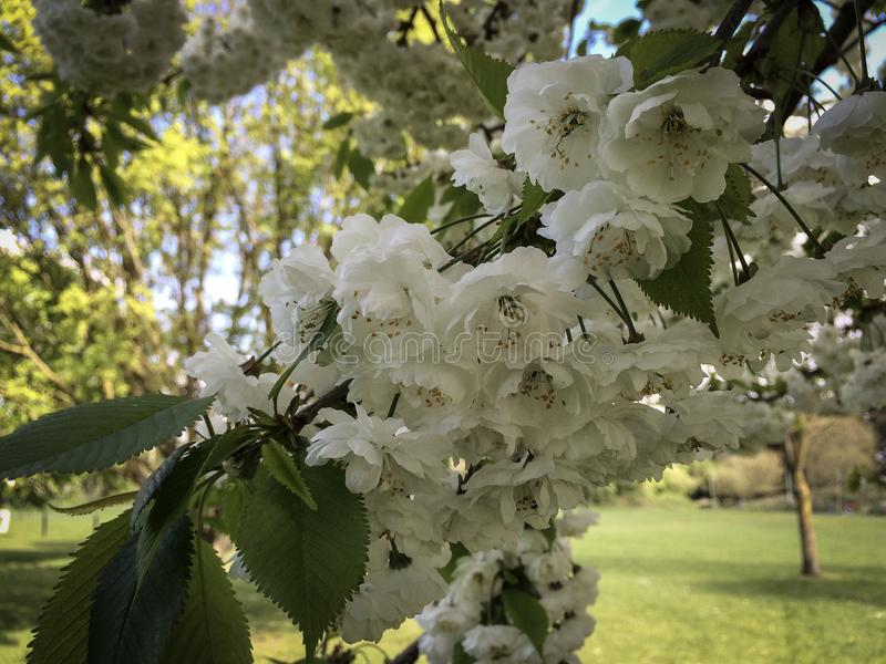 Цветки, весна, белая стоковые фото