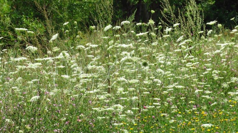 Цветки весна и лето лугов горы белые стоковые изображения rf