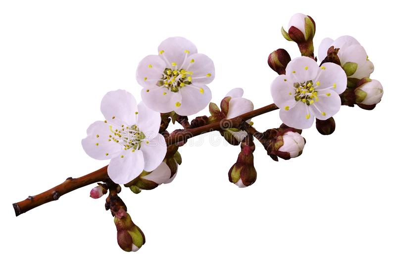 Цветки весны бело-розовые на ветви изолированной на белой предпосылке с путем клиппирования без теней Конец-вверх Цветки apric стоковые фото