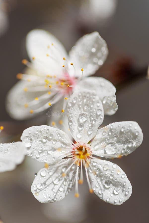 Цветки весны белые с росой стоковое изображение rf