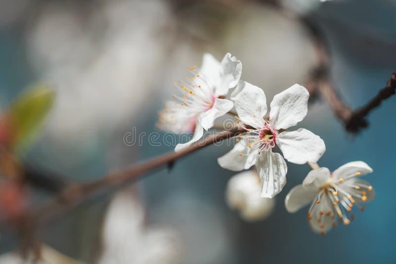 Цветки весны белые с росой стоковое фото rf
