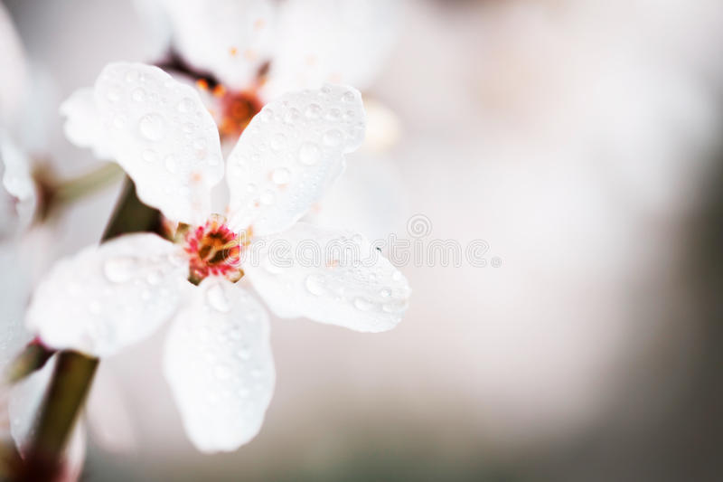 Цветки весны белые с росой стоковая фотография