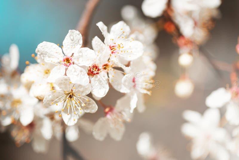 Цветки весны белые с росой стоковые фото