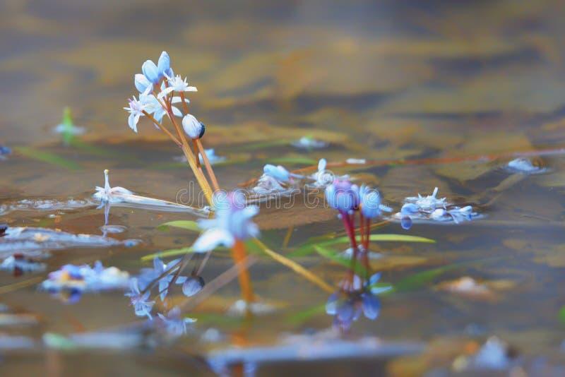 Цветки весны в сини стоковая фотография