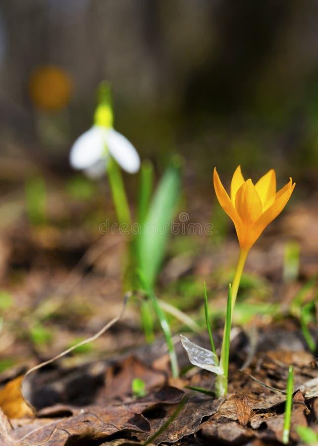 Цветки весны - желтые крокус и snowdrop стоковая фотография