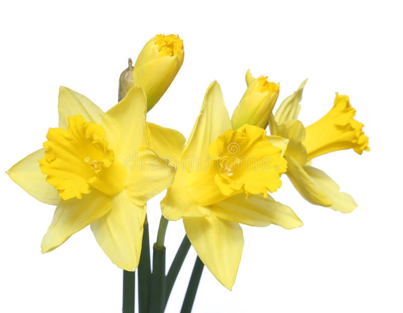 Цветки весны. Желтый изолированный narcissus стоковая фотография rf