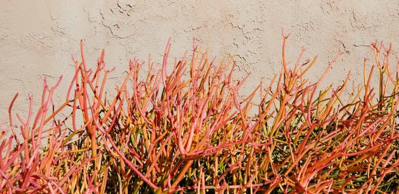 Цветки весны - завод ручки огня стоковые фотографии rf