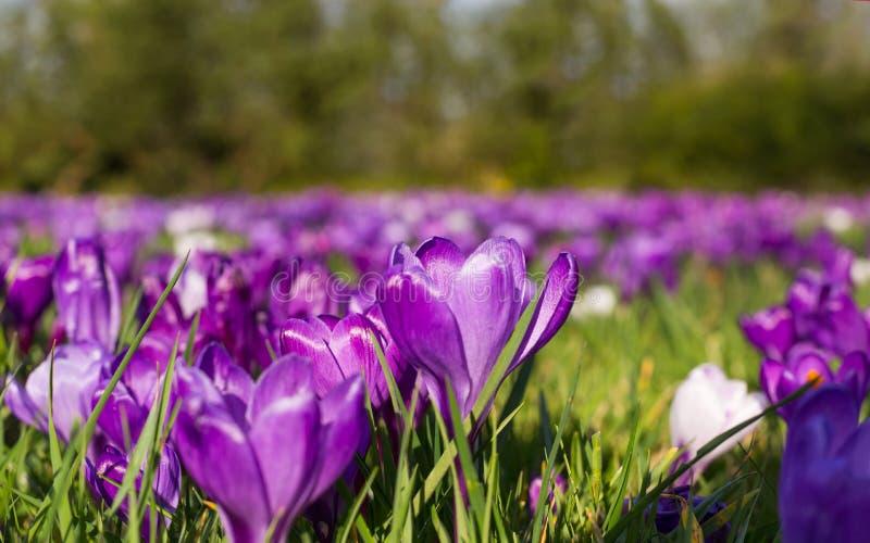 Цветки весны крокуса зацветая на луге весны стоковые изображения rf